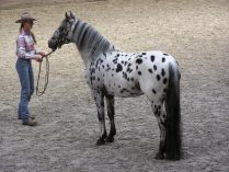 Manchas do Appaloosa
