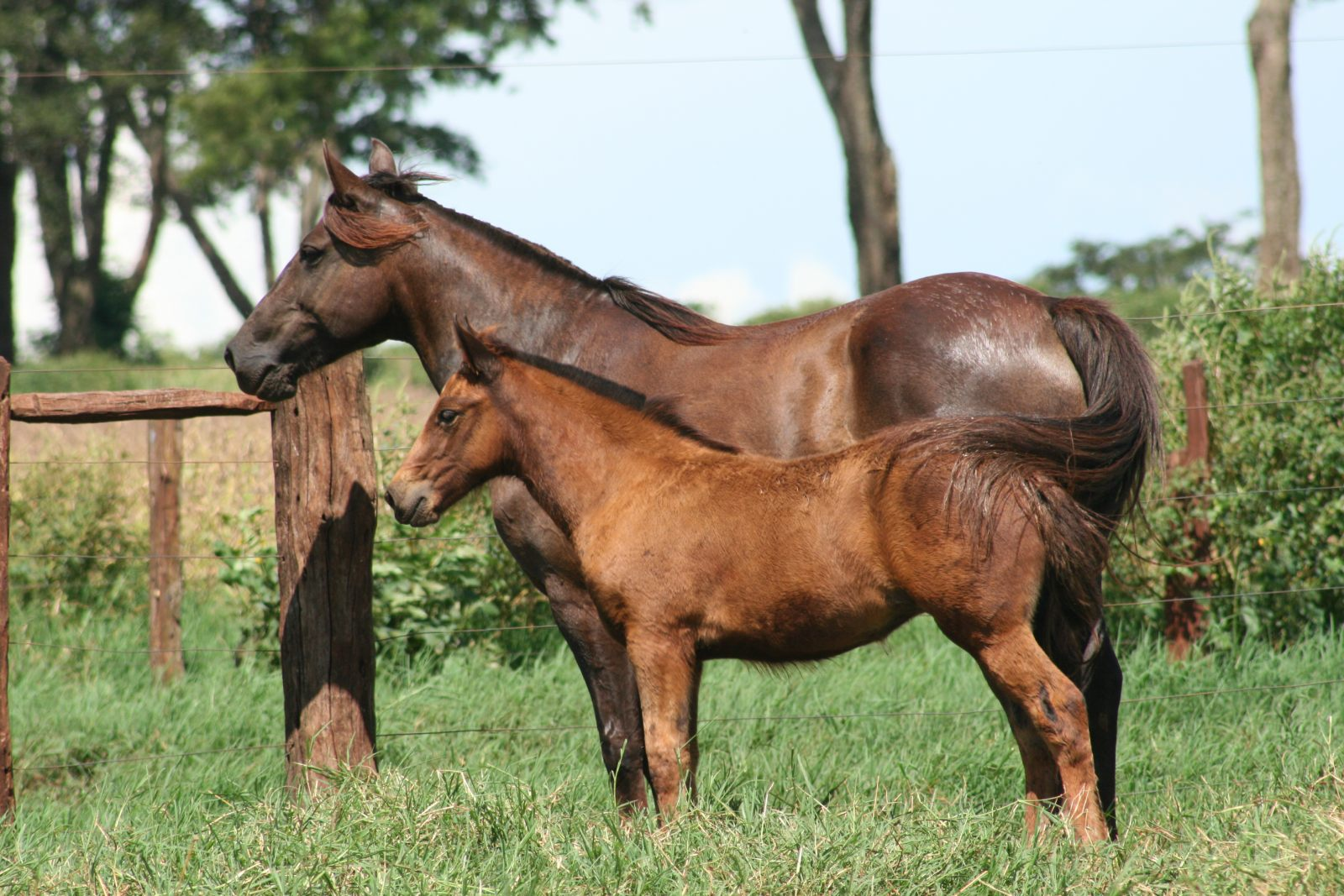 Картинки спаривание лошади