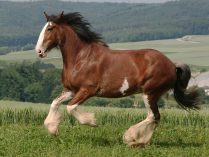 Cavalo Clydesdale